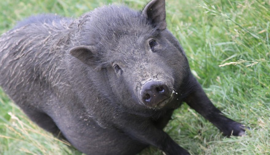 Ganado porcino