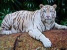 Los tigres de bengala encuentran esperanza en Nepal