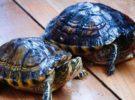 ¿Cómo saber si una tortuga es macho o hembra?