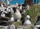 Albatros de cola corta, una especie que sigue en peligro de extinción