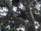 Este mono de nariz chata es popular por sus estornudos