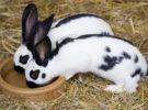 Embarazo nervioso en conejos, qué es y cómo detectarlo