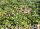 <em>Rugulopterix okamurae</em>, la alga asiática que amenaza Andalucía