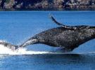 Prohíben el baño en una playa de Mataró por la presencia de un cadáver de ballena