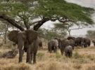 Puestas en marcha las primeras medidas para prohibir la venta de elefantes a zoológicos
