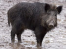 Aiguafreda quiere usar orina de lobo para expulsar a los jabalíes