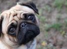 ¿Por qué escuchar el lloro de un perro nos rompe el corazón? La ciencia lo explica