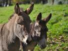 En California ofrecen 45000 euros por saber quién ha matado a 40 burros