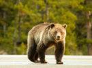 Multan a un canadiense por dar de comer a osos salvajes