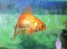 ¿Qué tanques necesitan los peces dorados?