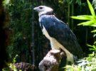 Águila harpía, una de las aves que más miedo da