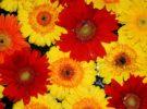 Agricultores holandeses destruyen millones de flores, cada día, por el Coronavirus