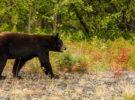 Hallan muerto a Cachou, un oso famoso por sus ganas de comer