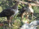 2020 sirve para que las águilas de Bonelli tengan siete nuevos ejemplares