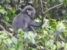 El Popa langur es un primate completamente nuevo, pero ya está en peligro de extinción