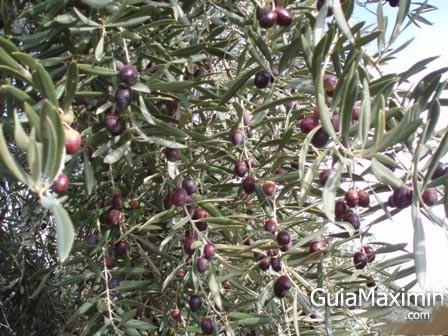 ACEITE DE OLIVA VIRGEN EXTRA – TORREON DE NUBLA ( CAZORLA -J )
