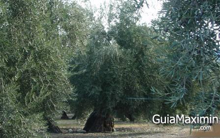 olivo