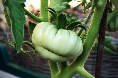 mata de tomate raf