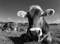 Vaca Casina (Mayo)