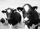 Vaca Frisona (abril)