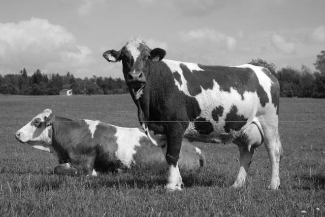 Vaca Simental Julio