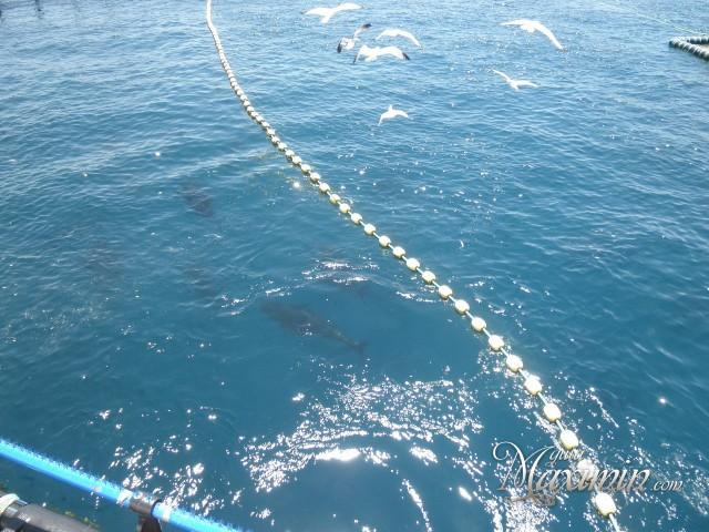 los atunes