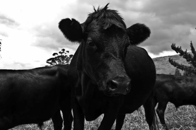 Vaca Tudanca (Septiembre)