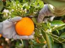 Naranjas Herminia Campo - baja (15)