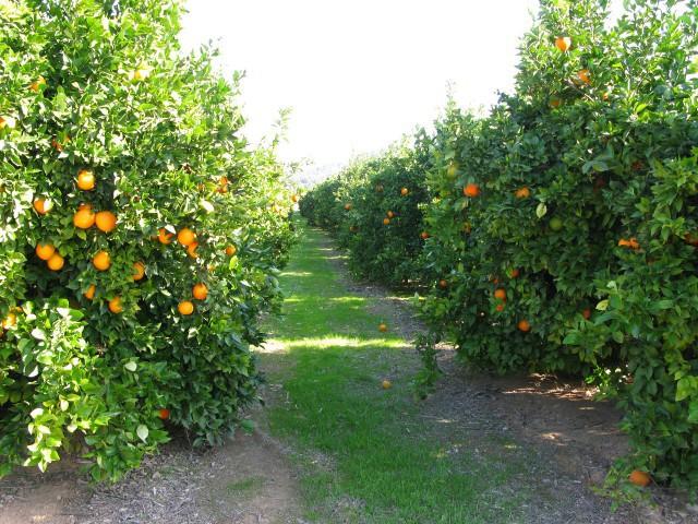 Naranjas Herminia Campo - baja (3)