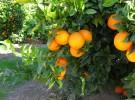 Naranjas Herminia Campo - baja (4)