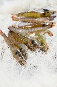 Langostinos recién pescados Gamba Natural 2