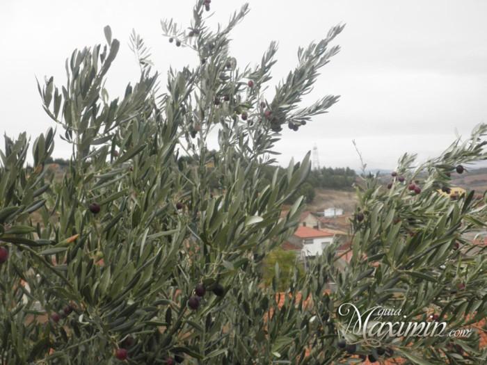 olivo-ya-recogida-la-cosecha-1024x768