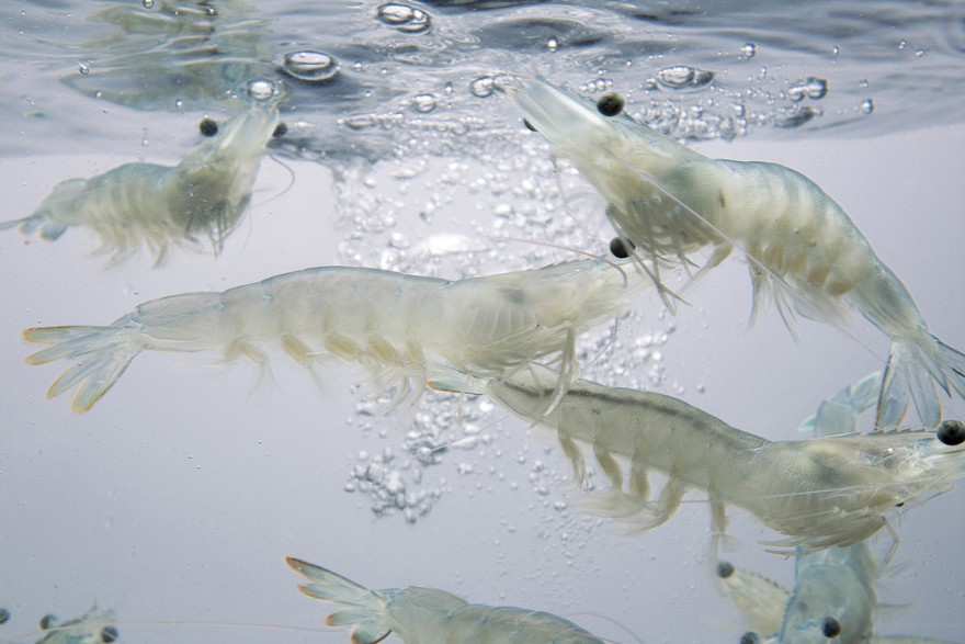 Langostinos-en-acuario-Gamba-Natural-2-m