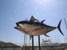 Cartagenasia21: Para descubrir el atún rojo de acuicultura de Cartagena