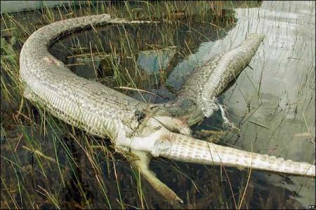 Una enorme serpiente pitón 'explota' tras tragarse a un caimán durante una pelea