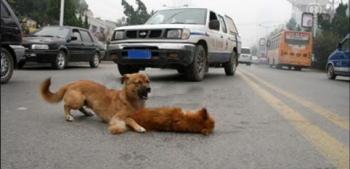 perro cuidando a su amigo