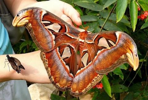 atlas_mariposa_gigante