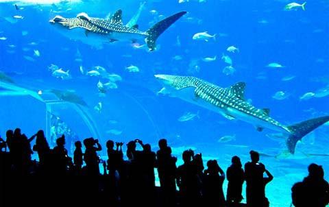 acuario_japones_Churaumi_okinawa