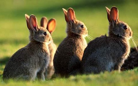 conejos_utililzados_biocombustible_suecia