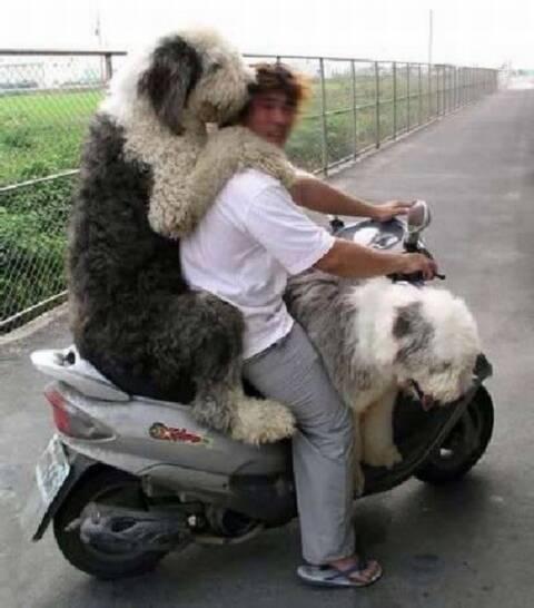 mascotas_perros_amigo_fiel_moto_sobrecarga