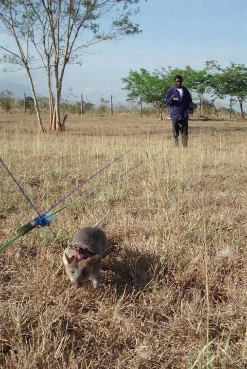 ratas_ayudan_buscar_minas_antipersonales.jpg