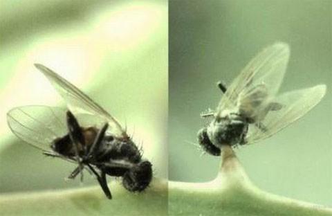 mosca_accidentada_empalada_cactusa