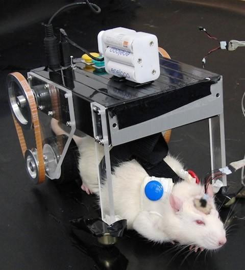 control-cerebral-ratas