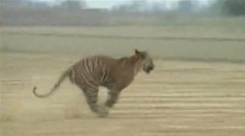 tigre-ataca-india