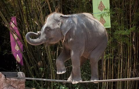 elefante-cuerda-floja-abusos-video