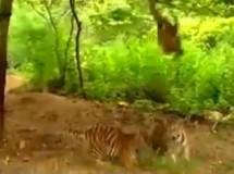 Una cría de tigre desairada