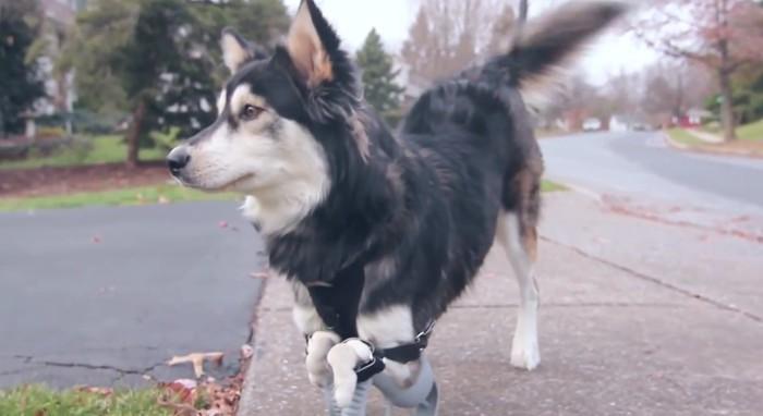 Derby, un perro que utiliza una prótesis 3D