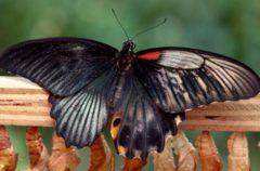 Una mariposa que pertenece a los dos sexos