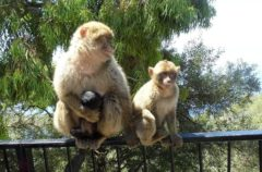 El curioso comportamiento sexual de los monos de Gibraltar