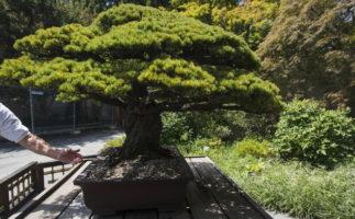 Un bonsái que sobrevivió a la bomba de Hiroshima